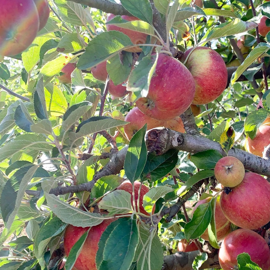 Picking Apples from the Queen's Orchard
